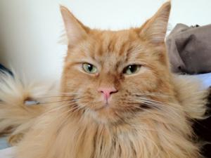 Cat Grooming Putney – Ninja