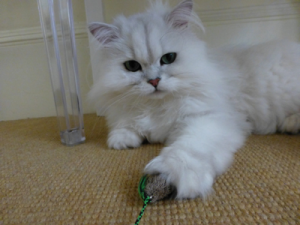 Mobile cat grooming SE London: Sparkle