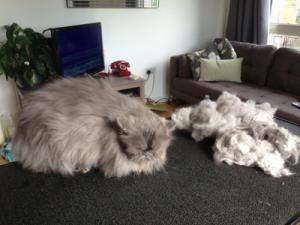 Mobile cat grooming Tottenham: Prince