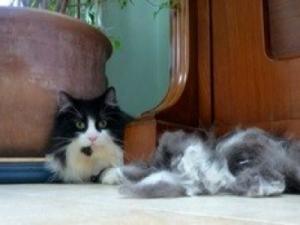 Mobile cat grooming Twickenham: Oliver