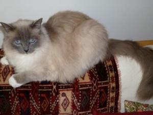 Mobile cat grooming Whitechapel: Suma