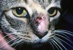 feline_sporotrichosis