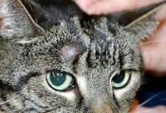 feline_tumor