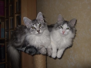Pedigree Cats