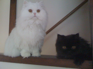 Cat sitting Holland Park – Daisy and Shelby