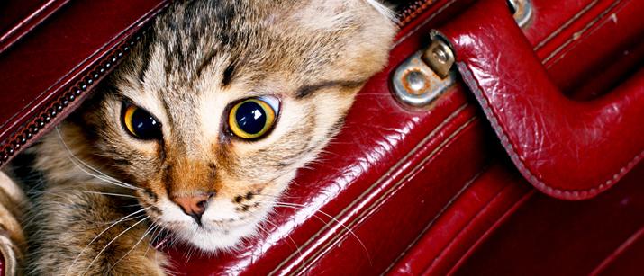 Cat Travel Tips Catnips