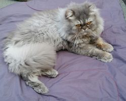 cat-groomer-Notting-Hill-Holland-Park-Ladbroke-Grove