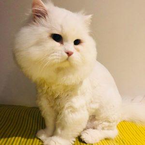 chiswick cat groomer